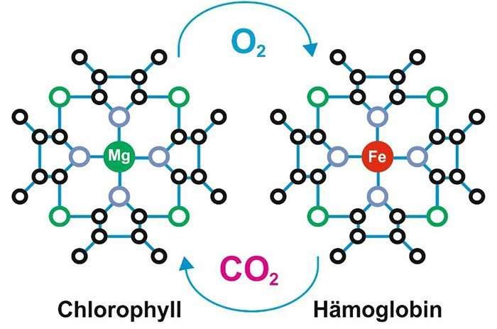 Schematische Darstellung Chlorophyll-Molekül vs. Hämoglobin. Sie sehen, Mg (Magnesium) grün eingezeichnet und Fe (Eisen) rot. ©Copyright KPAF 2018